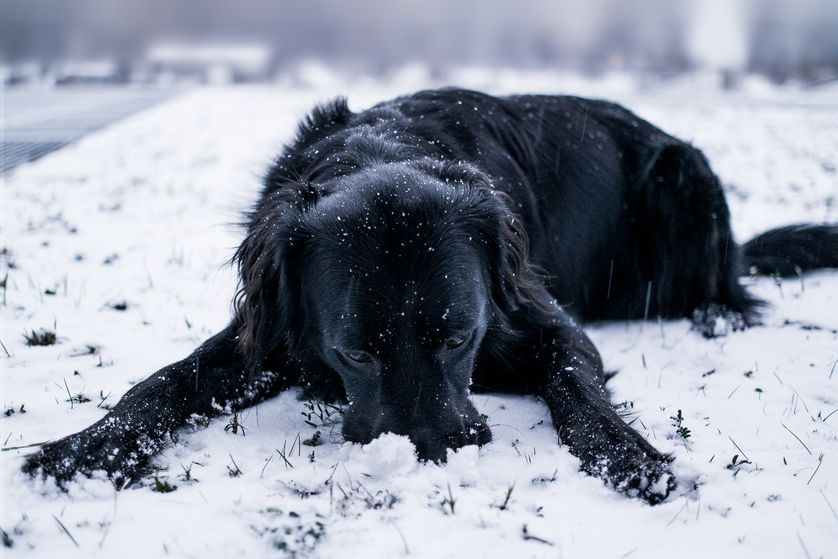 dog eat snow.jpg.838x0_q80